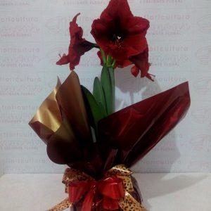 Amarílis vermelha