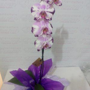 Orquídea Colorida